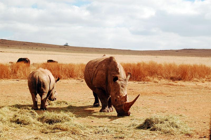 Oportunidades do lado de lá do Atlântico - Rinocerontes Namib Desert